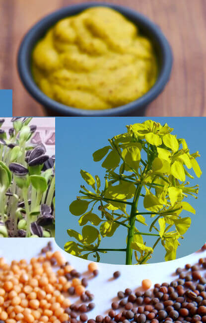 Types of mustard: - Mustard seeds - Mustard Powder - Prepared Mustard - Mustard greens (sprouts)